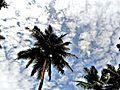 Coconut Tree 2.jpg