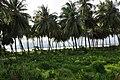 Coconut on the Wakenaam Coast - panoramio.jpg