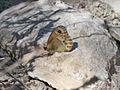 Coenonympha dorus (Nymphalidae) (Dusky Heath) - (imago), Málaga, Spain.jpg