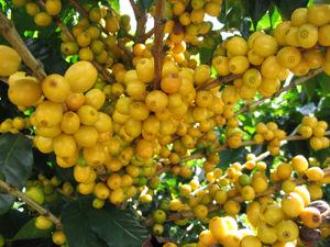 Yellow Catuaí Coffee - COFFEA ARABICA