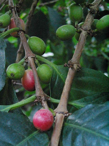ファイル:Coffee beans on tree.jpg