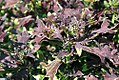 Coleus scutellarioides Ducksfoot Midnight 0zz.jpg