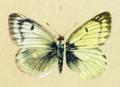 Colias nastes werdandi (Spuler).png