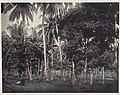 Collectie NMvWereldculturen, RV-A41-1-17, Foto, 'Een palmbomenbos in Batavia', fotograaf Woodbury & Page, 1856-1878.jpg