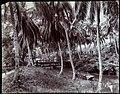 Collectie Nationaal Museum van Wereldculturen TM-60062261 Riviergezicht met brug en boot, de bomen op de voorgrond zijn genummerd Jamaica A. Duperly & Sons (Fotostudio).jpg
