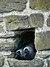 Coloeus monedula -Conwy Castle, Clwyd, Wales-8.jpg