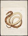 Coluber porphyraceus - 1700-1880 - Print - Iconographia Zoologica - Special Collections University of Amsterdam - UBA01 IZ12100237.tif