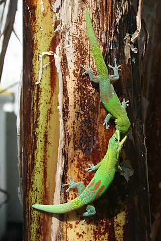 Gold dust day gecko - Gold dust day geckos fighting on a banana plant in central Saint-Denis, Réunion