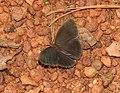 Common Bushbrown Mycalesis perseus by Dr Raju Kasambe DSCN2835 (3).jpg