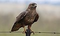 Common Buzzard (Steppe Buzzard), Buteo buteo vulpinus, on a fence along the R42, Gauteng, South Africa (32884491105).jpg
