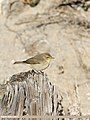 Common Chiffchaff (Phylloscopus collybita) (30451622307).jpg