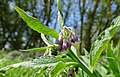 Common Comfrey (Symphytum officinale) flowers (17037342168).jpg