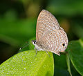 Common Lineblue (Prosotas nora) in Hyderabad, AP W IMG 0509.jpg