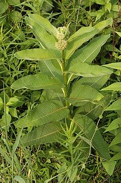 240px common milkweed asclepias syriaca plant 2000px