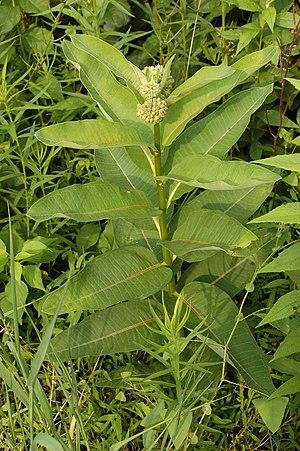 Asclepias syriaca - Image: Common Milkweed Asclepias syriaca Plant 2000px
