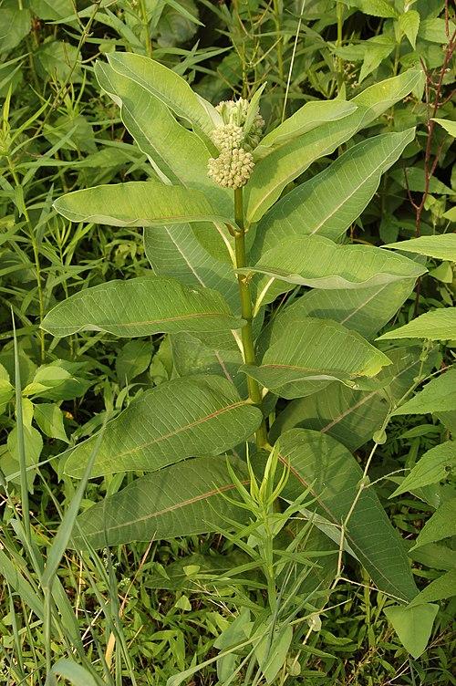 500px common milkweed asclepias syriaca plant 2000px