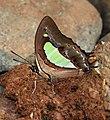 Common Nawab Polyura athamas by Dr. Raju Kasambe DSCN5879 (6).jpg