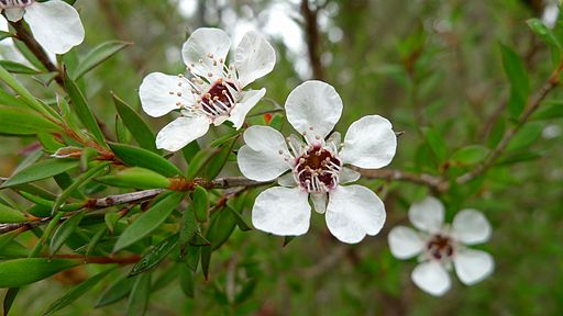 Common Tea-tree flower (6692403213)