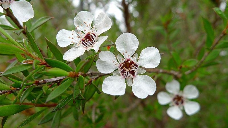File:Common Tea-tree flower (6692403213).jpg
