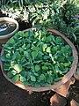 Common water hyacinth,.jpg