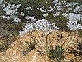 Conospermum crassinervium (26079788058).jpg
