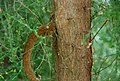 Conservatoire botanique national de Brest-Teline salsoloides-15 07 04-Philweb1 (19228548719).jpg