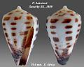 Conus bairstowi 1.jpg