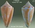 Conus burryae 1.jpg