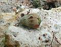 Conus coronatus - 2.jpg