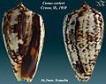 Conus cuvieri 3.jpg