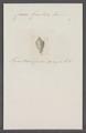 Conus guestieri - - Print - Iconographia Zoologica - Special Collections University of Amsterdam - UBAINV0274 086 07 0053.tif