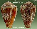 Conus saragasae 2.jpg