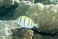 Convict surgeonfish Acanthurus triostegus (7568520580).jpg