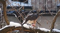 File:Cooper's hawk eating in winter (52562).webm