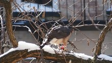 File:Cooper's hawk eating in winter (52562).webm