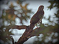 Coopers Hawk (Thanks Buckeye for the ID) (7659994638).jpg