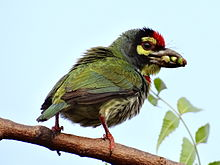 Coppersmith Barbet in Chinsura.JPG