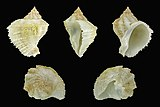 Coralliophila brevis 01.JPG