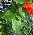Cordia sebestena (1) leaves and flowers.jpg