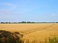 Cornfield near Brookland - geograph.org.uk - 215385.jpg