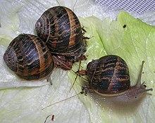 Hésiode de l'Escargot dans ESCARGOT 220px-Cornusalat