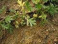 Coronopus didymus leaf (14).jpg