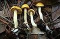 Cortinarius alboluteus Lebeuf, Andre Paul, Liimat., Niskanen, & Ammirati 805852.jpg