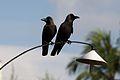 Corvus splendens protegatus.jpg