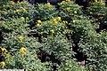 Corydalis lutea 2zz.jpg