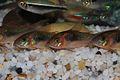 Corydoras aeneus group.jpg