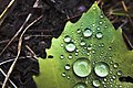 Cottage Leaf -1- (2686608087).jpg