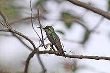 Козумел-Фауна-Cozumel Emerald (6842663996)