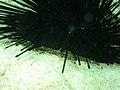 Crab under urchin (1888273829).jpg