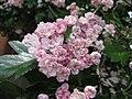 Crataegus mordenensis old flowers.jpg